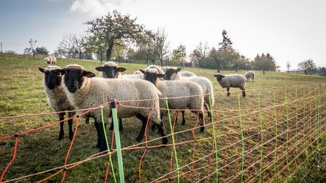 Weidezaungeräte für Schafe