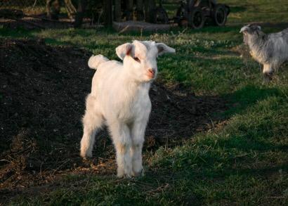 Weidezaungeräte für Ziegen