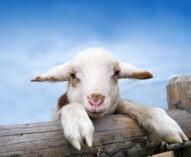 Wieviel Joule braucht dein Weidezaungerät um Schafe zu halten?