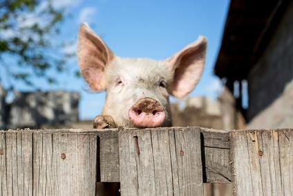 Weidezaungeräte für Schweine